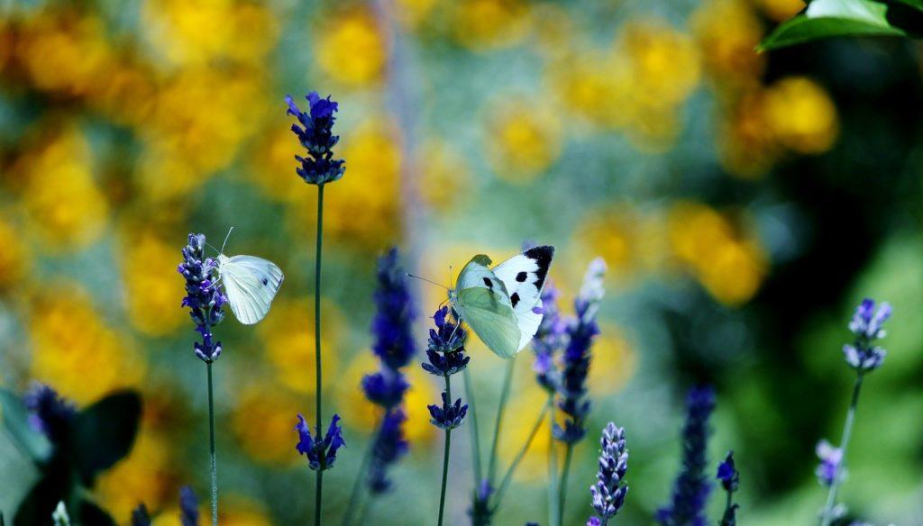 lavendar-butter